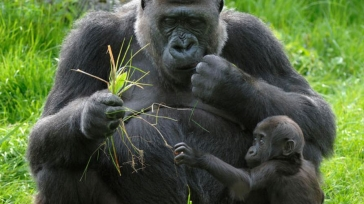 Gorilla tracking in the Congo
